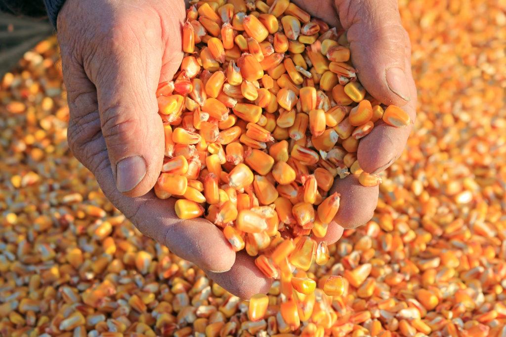 Maïs - Corn - BonFoin Bon Grain